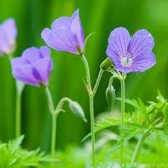 Géranium vivace Nimbus :lot de 3 godets