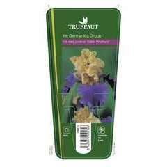 Iris des jardins Edith Wolford :lot de 3 godets