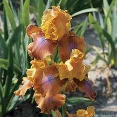 Iris des jardins Rusticana :lot de 3 godets