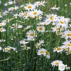 Marguerite Reine de Mai :lot de 3 godets