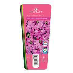 Phlox Drummond Small Rose : 3 godets