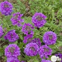 Verveine du Canada 'Homestead Purple' : lot de 3 godets