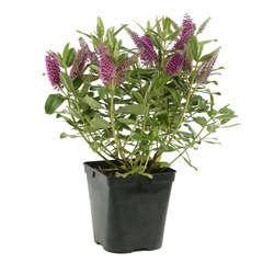 Hebe arbustive à fleurs : C 4L