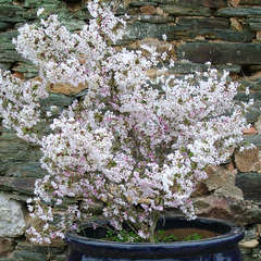 Prunus Incisa Kojo No Mai  C.4L