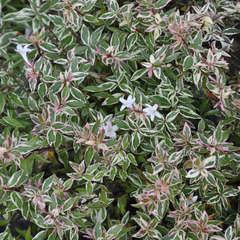 Abelia Grandiflora Confetti C4L.
