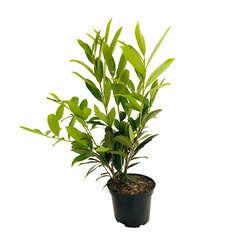 Prunus laurocerasus ' Caucasica  ' : H. 40/60 cm C3L