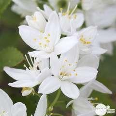 Deutzia gracilis : conteneur 4L