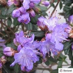 Rhododendron nain 'Blue Diamond':pot 4L