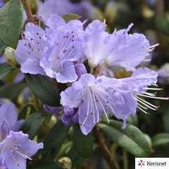 Rhododendron nain 'Blue Tit Major':pot 4L