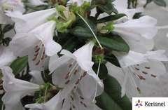 Rhododendron nain cilpinense:pot 4L