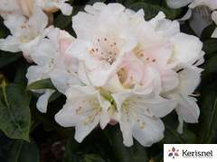 Rhododendron nain 'Dora Amateis':pot 4L