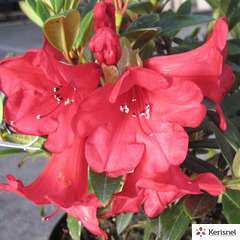Rhododendron nain 'Elisabeth':pot 4L