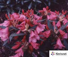 Rhododendron nain 'Winsome':pot 4L