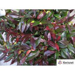 Leucothoe fontanesiana 'Scarletta':pot 2L