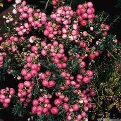 Pernettya mucronata rose:conteneur 4 litres