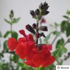 Salvia/Sauge grahamii pot 10L
