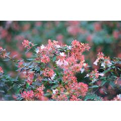 Abélie à grandes fleurs grandiflora  Godet