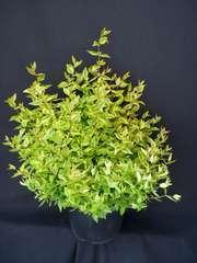 Abélie à grandes fleurs grandiflora Kaleidoscope® C 7,5 litres