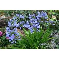 Agapanthe africanus Pitchoune Blue® Scrarey09 Godet