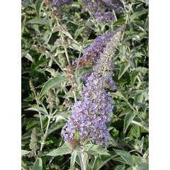 Arbre aux papillons davidii Lochinch C 4 litres