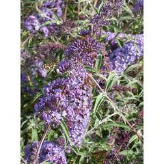 Arbre aux papillons davidii Nanho Blue C 4 litres
