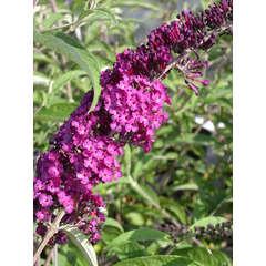 Arbre aux papillons davidii Royal Red C 7,5 litres