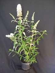 Arbre aux papillons davidii White Profusion C 4 litres