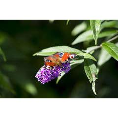 Arbre aux papillons x Lilac Chip 'Valbud3' C 4 litres