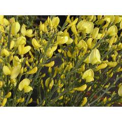 Cytise x praecox Allgold C 3 litres 40/60