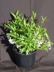 Deutzies gracilis  C 3 litres 30/40