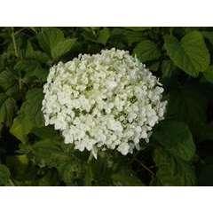 Hortensia de Virginie arborescens Annabelle C 7,5 litres - 40/60
