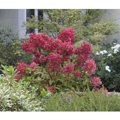 Hortensia paniculata Diamant Rouge® 'Rendia' C 7,5 litres - 40/60