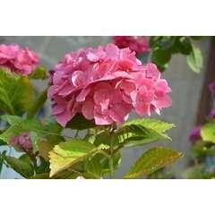 Hortensia macrophylla Rosita C 7,5 litres -