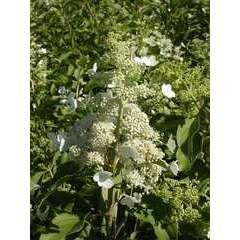 Hortensia paniculata Kyushu C 7,5 litres - 60/90