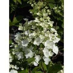 Hortensia paniculata Unique Godet -