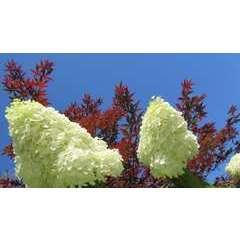 Hortensia paniculata Silver Dollar C 7,5 litres - 60/90