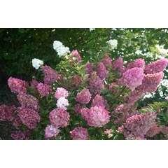 Hortensia paniculata Sundae Fraise® 'Rensun' C 7,5 litres - 60/90