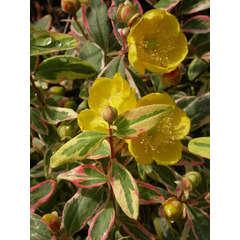 Millepertuis X Moserianum Tricolor C 3 litres