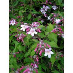 Buisson de beauté amabilis Pink Cloud C 7,5 litres