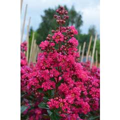 Lilas des Indes indica Fuchsia d'été® 'Indyfus' Godet