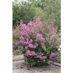 Lilas des Indes indica Rose Godet
