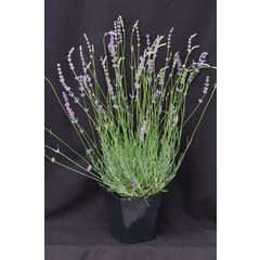 Lavande angustifolia Abrial C 3 litres