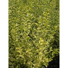 Troène de Californie ovalifolium Aureum C 7,5 litres 80/100