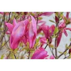 Magnolia à fleurs de lis liliflora Nigra Godet