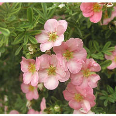 Pottentille fruticosa Lovely pink® C 7,5 litres