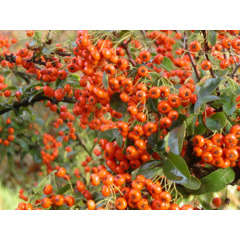 Buisson ardent coccinea Orange Glow Godet