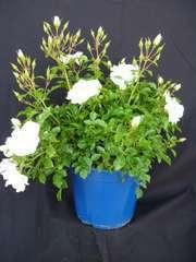 Rosier arbustif Decorosier® Opalia® 'Noaschnee' C 2 litres