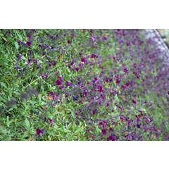Sauge X jamensis Violette de Loire® 'Barsal' C 7,5 litres
