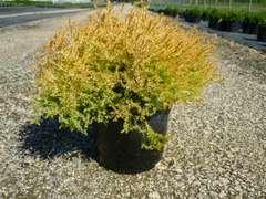 Thuya du Canada occidentalis Rheingold C 3 litres