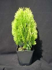 Thuya du Canada orientalis Semperaurea C 7,5 litres